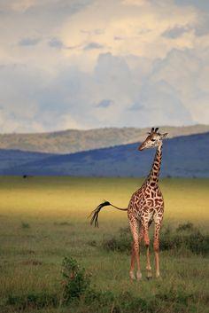Light on the Mara  Masai Mara, Kenya - © copyright by Paul Marcellini./ this would make a sweet print