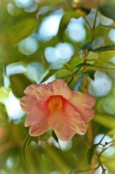椿つばき 太郎冠者たろうかじゃ  Camellia Taroukaja (Camellia wabisuke...