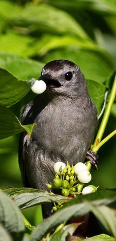 ... about Mockingbirds & Co on Pinterest | Birds, US states and Texas
