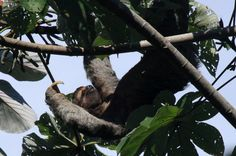 Three-toed sloth lumbers across a cecropia tree