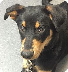 Natchitoches, LA - German Pinscher Mix. Meet Bernie, a dog for adoption. http://www.adoptapet.com/pet/13412283-natchitoches-louisiana-german-pinscher-mix