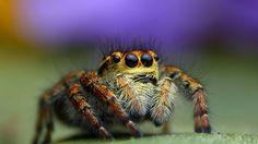 Bagheera kiplingi, spider, macro