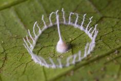 Unidentified species from South America crafts an intricate circular fence with a central tower to protect its young.