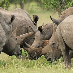 ☀ a group of rhinos is called a crash.. The remote Kunene region of NW Namibia is home to the world's largest remaining free-roaming black rhino population. T+L (www.travelandleisure.com).