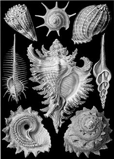 Ernst Haeckel - Kunstformen der Natur (1904), plate 53: Prosobranchia (obsolete classification)