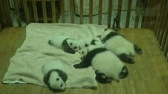 Aww! 'Panda Cam' lets you watch a live stream of twin cubs