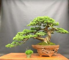 Junipero bonsai
