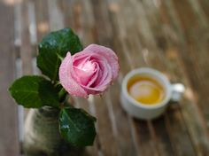 Wet Pink rose with blurry cup of jasmine tea in the background stock photo