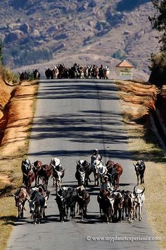 driving herds of zebus to market, N7 road south of Ambalavao, Madagascar