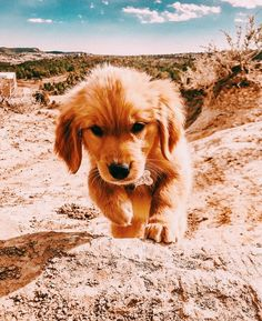 Discover The Trustworthy Golden Retriever Puppy And Kids Cute Little Animals, Cute Funny Animals, Chien Golden Retriever, Funny Golden Retrievers, Cute Puppies Golden Retriever, Cute Dogs And Puppies, Doggies, Baby Dogs, Pet Dogs