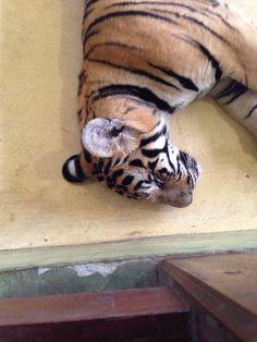 Cute puppy tiger!!!