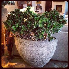 Crassula horn tree in polystone pot