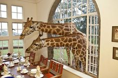 Giraffe Manor is amazing destination in the Lang'ata suburb of Nairobi, Kenya. The property and hotel is famous for its resident herd of endangered Rothschild giraffes. Every day shortly before 9am, the elegant giraffe stroll up to the house and poke their heads through the windows and doors in search of morning treats.