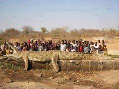 Crocodile de 7 mètres de long et plus de 1200 kg