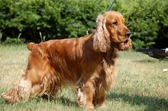 English Cocker Spaniel ~ Classic Cocker Look & Trim Cocker Spaniel Dog, English Cocker Spaniel, Cockapoo, Dogs And Puppies, Doggies, Pet Birds, Spaniels, Hawkeye, King Charles