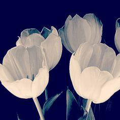 Tulips, I love tulips