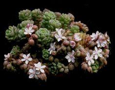 Sedum versadense  (syn. S. chontalense) flowers