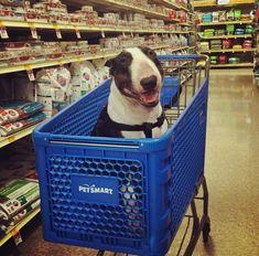 Bull Terrier shopping at PetSmart Chien Bull Terrier, Boston Bull Terrier, Mini Bull Terriers, English Bull Terriers, Best Dog Breeds, Best Dogs, I Love Dogs, Cute Dogs, Akita