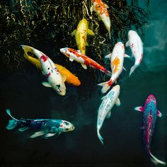 "Koi fish are the domesticated variety of common carp. Actually, the word ""koi"" comes from the Japanese word that means ""carp"". Outdoor koi ponds are relaxing. Koi Fish Pond, Koi Carp, Fish Ponds, Beautiful Creatures, Animals Beautiful, Cute Animals, Colorful Fish, Tropical Fish, Koi Fish Colors"