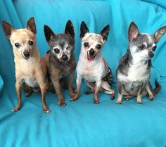 4 Elderly Chihuahua Dogs - Getting excited to rock and roll on down to…