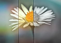 Daisy, Flower, Spring, Plant, Nature, Close