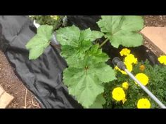 Neem Oil - Okra - Squash - Aphids. Garden Plant damage and repair. - http://foodscape.tips/neem-oil-okra-squash-aphids-garden-plant-damage-and-repair/
