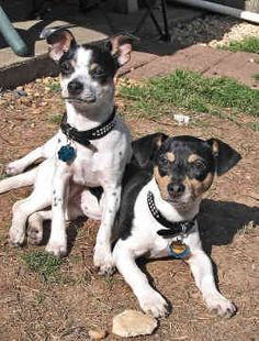 AMERICAN RAT TERRIER....the best little buddies...they are so loyal to their person!