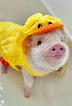 Feeding of lovely popular and funny pigs - Gloria Love Pets Cute Baby Pigs, Baby Animals Super Cute, Cute Piglets, Cute Little Animals, Baby Piglets, Baby Animals Pictures, Cute Animal Photos, Funny Pig Pictures, Cute Animal Memes