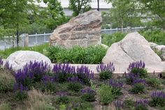 Robert C. Beutter Riverfront Park >> Large Accent Boulders & Salvia | Rundell Ernstberger Associates helped transform & revitalize an abandoned industrial site along the St. Joseph River in Mishawaka, IN into a 5.5-acre park & public gathering space. The design embraced a historic canal by featuring a race with decorative weirs, public-commissioned artwork, flood-prone plantings, & two metal pedestrian bridges that span the river to provide a pleasant circular trail system. Photo by REA.