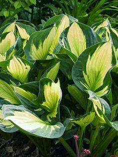 Darwin Plants is known for innovation in the perennial world and this year's 2017 catalogue will not disappoint! To bring you even more of the hottest perennials, we have added over 250 different items this season. Hosta Gardens, Hosta Plants, Plants, Planting Flowers, Garden Plants, Foliage Plants, Planting Hydrangeas, Shade Plants, Container Gardening Shade
