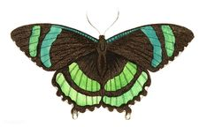 Green-banded tailed butterfly or Orontes illustration from The Naturalist's Miscellany (1789-1813) by George Shaw (1751-1813) | free image by rawpixel.com Creative Illustration, Free Illustrations, Butterfly Painting, Social Media Images, Vintage Butterfly, Christmas Fun, Free Images, Vector Free, Insects