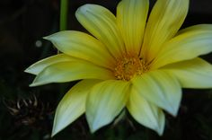 Beautiful yellow flower in my garden