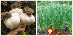 Spoznajte Sloní cesnak. Je úžasný! Onion, Garlic, Vegetables, Gardening, Veggies, Garten, Veggie Food, Vegetable Recipes, Lawn And Garden