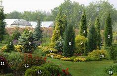 1. Thuja occidentalis 'Aurea'      8. Yew 'Washingtonii'  2. Juniperus communis 'Stricta'      9. Yew  3. Serbian spruce 'Nana'      10. Japanese Spiraea 'Goldmound'  4. Blue spruce 'Maigold'        11. Blooming weigela 'Nana Purpurea'  5. Blue spruce 'Glauca Compacta'     12. Korean weigela 6. The rocky juniper 'Blue Arrow'      13. Thuja occidentalis 'Danica'  7. Deren white 'Aurea'      14. Primula