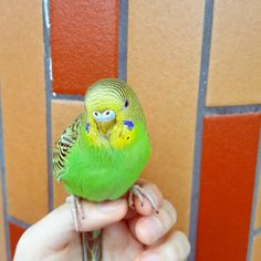 havent update for so long and this is my pet bird #pet #parrot #budgerigar #cute by gylx_x http://www.australiaunwrapped.com/