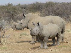 3-rhinocéros blancs