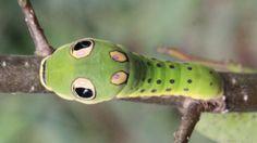 """""""O GRITO DO BICHO"""": Cinco animais que usam 'olhos falsos' para enganar...... #ogritodobicho #falabicho"""