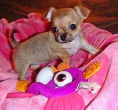 AKC Chihuahua Puppy (Champion lines)