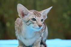 OSH-Kitten (Oriental Shorthair) --- Colour: Cinnamon Tabby Spotted --- Picture by: Tania Van den Berghen