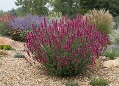 SONORAN SUNSET® hyssop (Agastache cana 'Sinning' PP13,673) makes a stunning specimen plant in mid summer. Here it's framed by other hyssops, russian sage, purple cone flower, ornamental grasses, sages and even yuccas. Give it plenty of room to grow so that the full form can be appreciated.    Read more about this and other plants in our new book, Durable Plants for the Garden - A Plant Select® Guide.