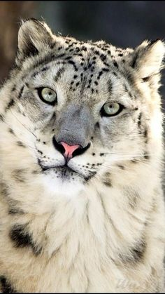 Snow leopard, my favorite wild cat. I love their tails. -ivy