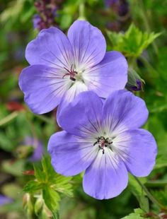 Geranium 'Rozanne' (Hardy geranium) - An excellent plant that large, blue flowers with white centres that are carried on wiry stems just over a broad mound of deeply divided leaves. Flowers continuously from May to September. Blue Geranium, Perennial Geranium, Cranesbill Geranium, Hardy Geranium, Geranium Pratense, Hardy Perennials, Hardy Plants, Purple Flowers, Beautiful Flowers