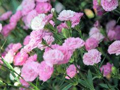 Cravina rosa:  Laços de afeto - Flores Jardim