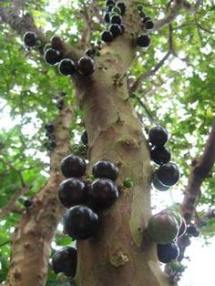 Jabuticaba is a fruit tree that grows in Brazil.  The fruit grows all over the trunk and branches.  The fruit (like grapes) can be eaten or made into wine.