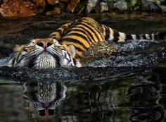 Fearless Wild Tiger Photography