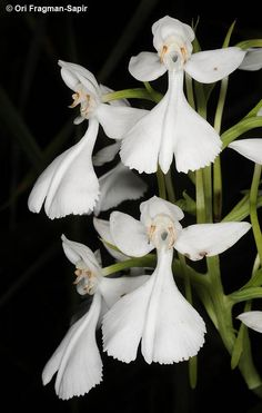 Habenaria dentata or Flowers Garden Love. LITTLE ANGELS