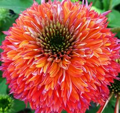 Art in nature | Flickr - Photo Sharing!This is Echinacea 'Double Scoop Raspberry', a fantastic, new coneflower with extra vibrant double-layered petals.