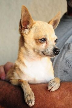 Todd Chihuahua • Senior • Male • Small Todd is approx. 8 year old chihuahua. He weighs approx. 5 lbs. Murray County Humane Society Chatsworth, GA