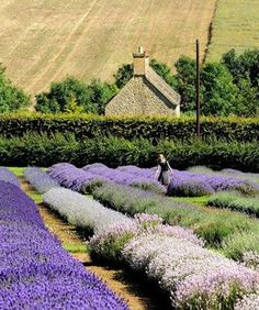 Beautiful Cotswolds, England lavender fields