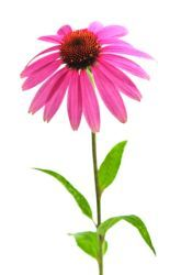 Which cut flower lasts the longest? Great for grades K-5.